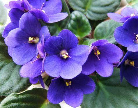african violet saintpaulia african violet auntie dogma s garden spot