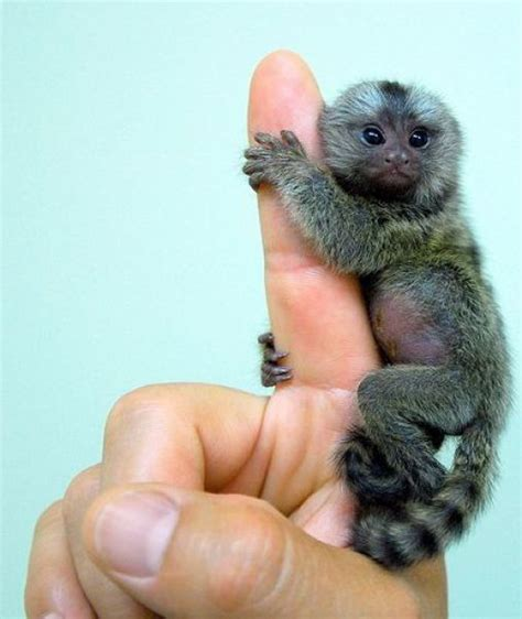finger monkey   Cutest things ever!   Pinterest
