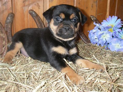 pug rottweiler countryside puppies