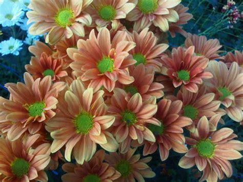 Bunga Krisan Orange Besar bunga potong krisan aster orange bibitbunga