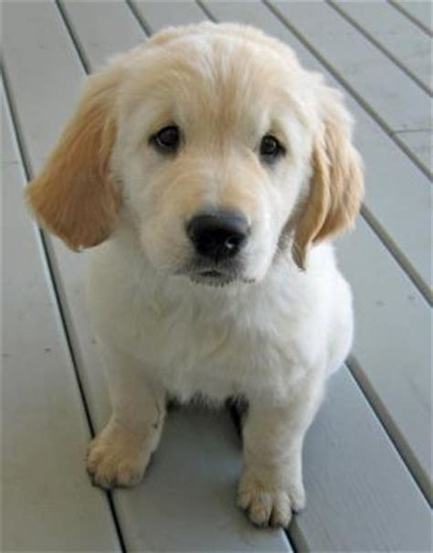 golden retriever puppies for sale in southern california puppies for sale golden retriever puppies for sale