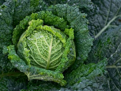 tanaman kubis kol brassica oleracea syarat tumbuhnya