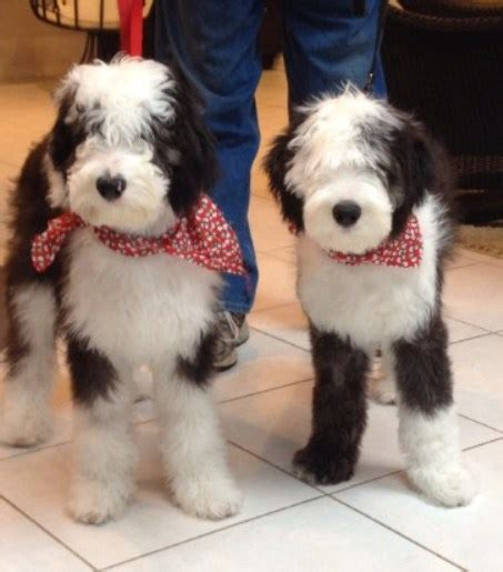 doggie doodle martinsville indiana sheepadoodle indiana sheepadoodle