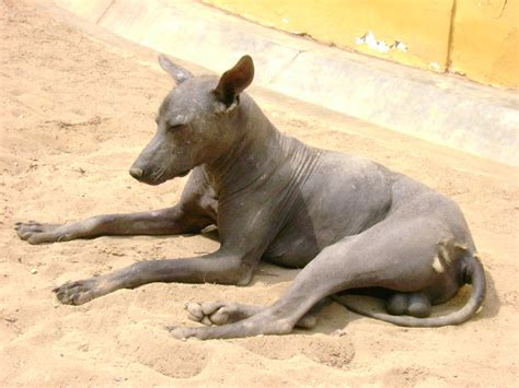 hairless dogs resting peruvian hairless photo and wallpaper beautiful resting peruvian hairless