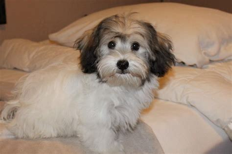 havanese adults for adoption havanese for adoption related keywords havanese for adoption