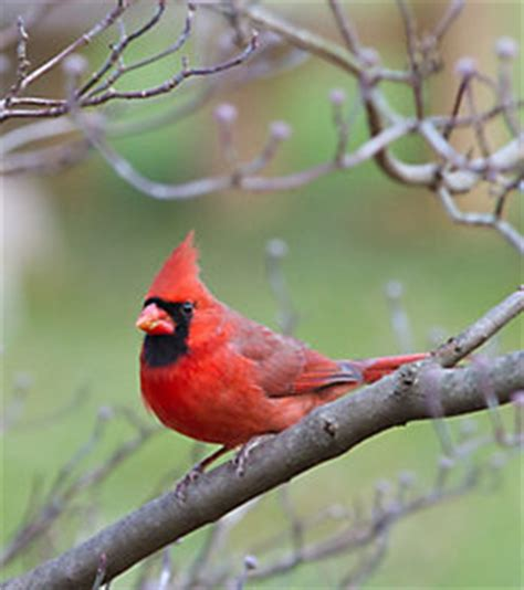 lyric 174 cardinal bird seed