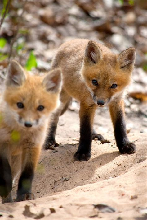 25 best ideas about baby foxes on pinterest animals foxes and baby red fox