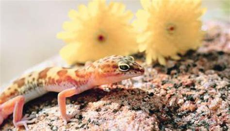 How Often Do Geckos Shed Their Skin by 100 Do Leopard Geckos Shed Skin 100 Do Leopard