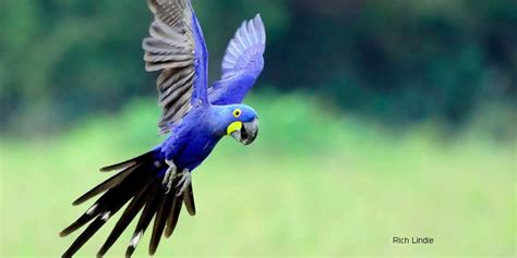 all blue macaw www pixshark com images galleries with