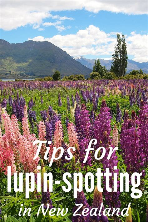 Find In New Zealand Photo Guide Where To Find Lupins In New Zealand
