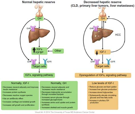t protein liver text type i insulin like growth factor as a liver