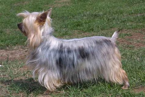silky terrier pet lovers world