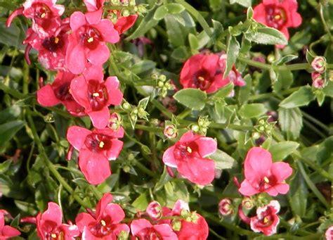 diascia horticulture