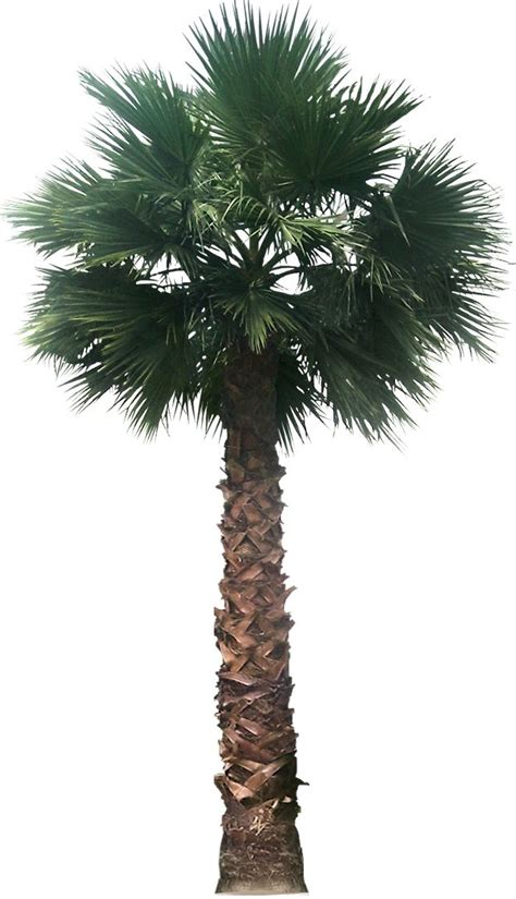 planting fan palm trees 17 best images about drawing resources on pinterest