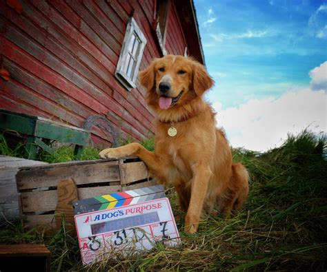 golden retriever purpose coming soon adogspurposemovie golden woofs