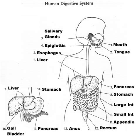 digestive system coloring page key mr watts website