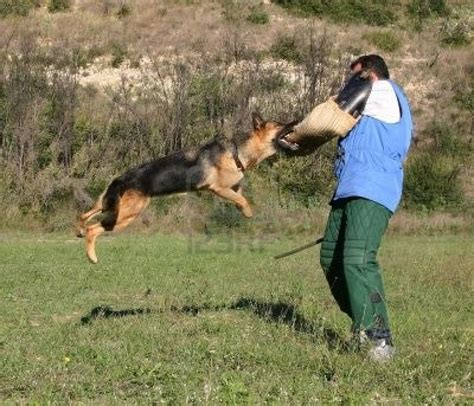how to a german shepherd to attack ww1 k 9 soldiers lit adv