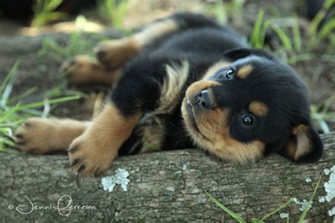 where to find rottweiler puppies adorable rottweiler puppies rottweilers puppys rottweilers and