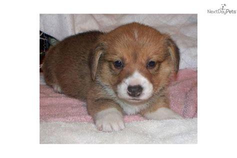 corgi puppies for sale in ga corgi dogs for sale breeds picture