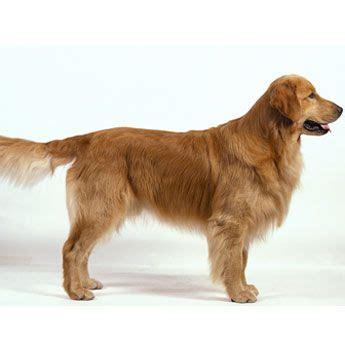 hairless golden retriever golden retriever hairless cool dogs