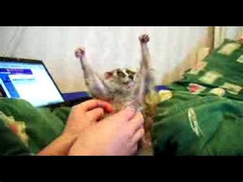 funny slow loris scratching arms up boy youtube