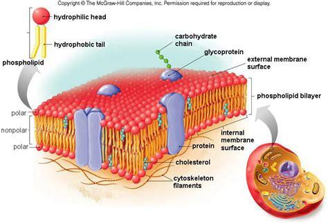 plasma cell membrane khuulevia