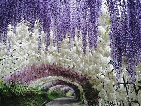 pianta glicine vaso glicine wisteria floribunda wisteria floribunda