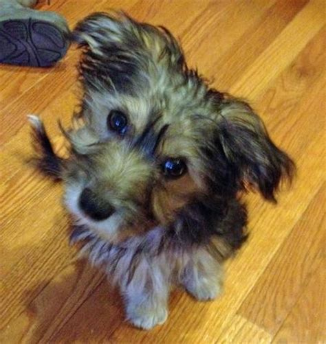 corgi yorkie corgi husky mix for sale breeds picture
