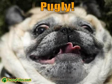 cutest pug puppy in the world cutest pug puppies in the world image search results