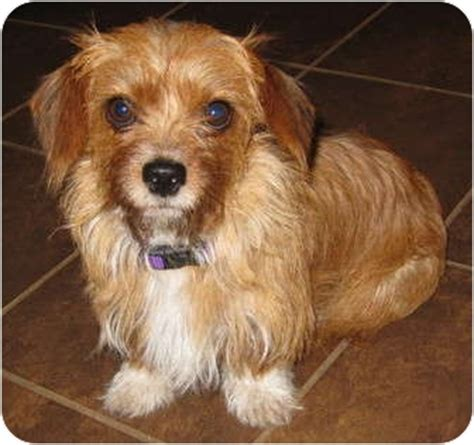 yorkie terrier mix for sale yorkie terrier mix for sale in overland park kansas breeds picture