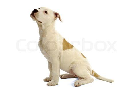 puppy profile stock bild s 252 223 es h 252 ndchen sitzend im profil auf wei 223 em hintergrund