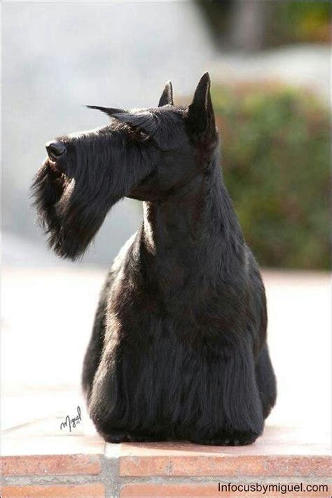 scottish terrier no haircut scottish terrier no haircut i always wanted a scottie too