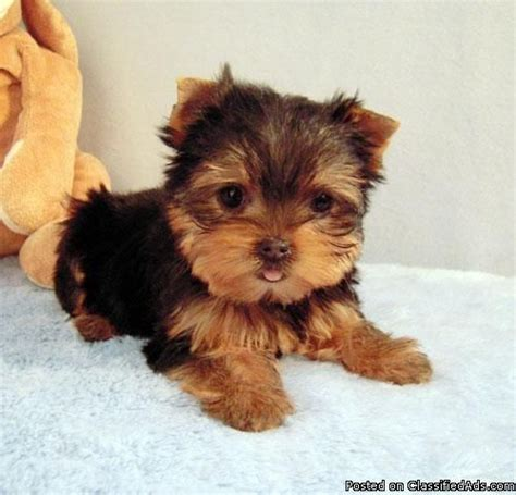 miniature yorkie price 25 best ideas about teacup yorkie price on teacup yorkie yorkie puppies