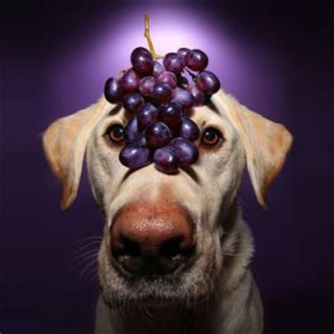 can dogs eat grapes can dogs eat grapes fallinpets
