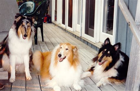 collie puppies for sale wisconsin collies for sale in arkansas myideasbedroom
