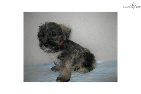 schnauzer puppies for sale in nc miniature schnauzer fayetteville nc to miniature schnauzer breeds picture