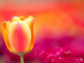 Flowers images tulip hd wallpaper and background photos 34296155