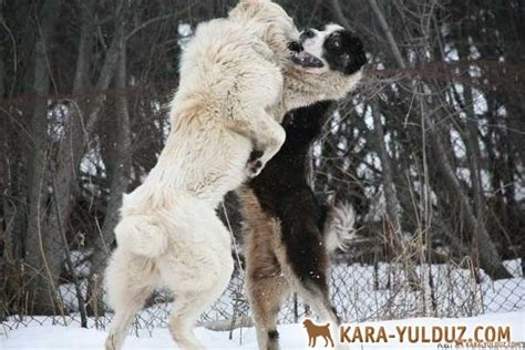 alabai puppies for sale central asian shepherd central asian shepherd puppies for sale breeds picture