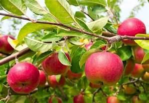 8 disease resistant apple tree varieties