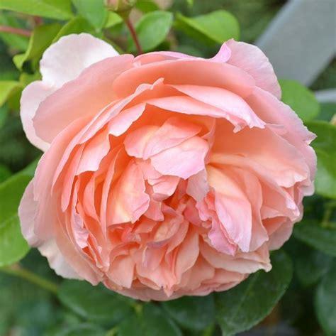 significato peonia significato dei fiori fiori peonia