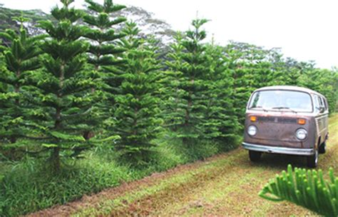 christmas in hawaii oahu christmas tree farm helemano farms