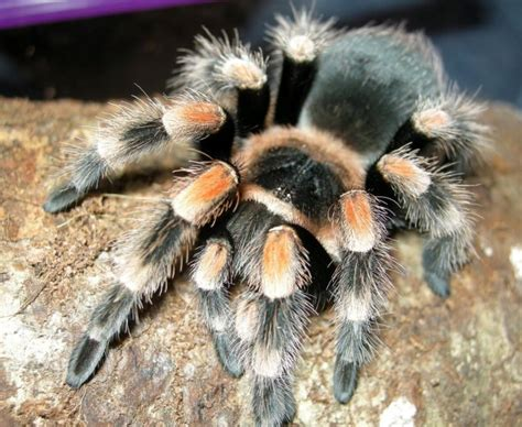 spiders as pets