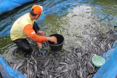 Cacing Untuk Lele 7 langkah budidaya ikan lele pembesaran lengkap dan urut