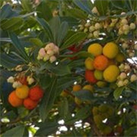 corbezzolo in vaso corbezzolo arbutus unedo arbutus unedo piante da