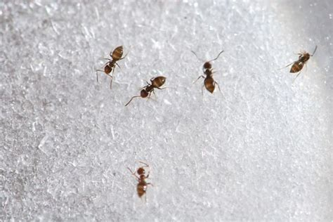 ants in kitchen cabinets ants in kitchen cabinets ants in kitchen cabinets ants