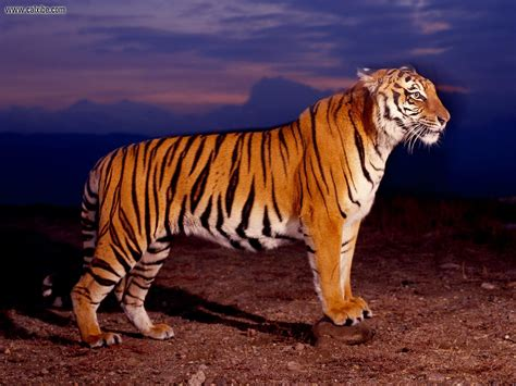 of tiger animals bengal tiger picture nr 15129