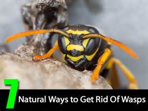 7 natural ways to get rid of wasps