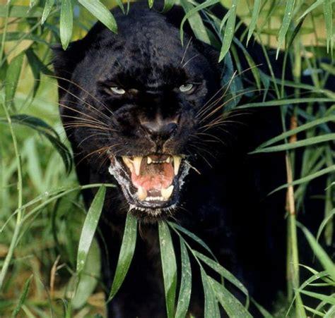 imagenes de un jaguar negro 191 sab 237 as que la pantera negra es en realidad un jaguar