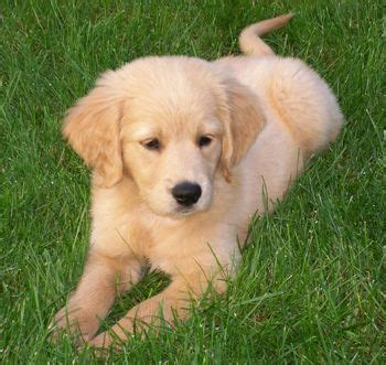 golden retriever that stays a puppy 25 best ideas about golden cocker retriever on golden cocker spaniel