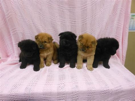 teacup shih tzu puppies for sale in ta fl playful chow chow pups for sale